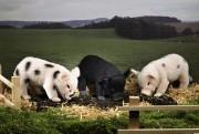 Micro Pig Mohair, schwarz Schwein 0960 Fa, Kösen 30 cm