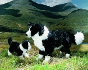 Border Collie Mary & Eddy