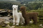 Alpaka braun und weiß von Kösen