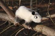 Heidi das Schielende Opossum von Kösen Bild 1