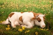 Kuh liegend von Kösen Bild 1
