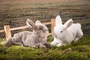 Kaninchen weiss Bild 1