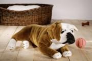 bulldogge-ko-6780