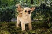 Chihuahua-7160-ko