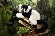 Lemur-ko-7000