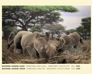 Nashorn, liegend, klein, Fa. Kösen, 7450, Rhinoceros, Lying, Small, Rhinoreros, Couche, Petit 30 cm