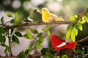 Kanarienvogel-ko-6571-3