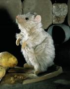 """Ratte """"Rosine"""" von Kösen"""